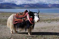 Die Yak, das Tibet und der See. Stockfotos