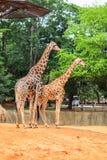 Die züchtende Jahreszeit der Giraffe lizenzfreie stockfotografie