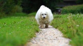 Die Zeitlupe, die als weißer Hund geschossen wird, läuft in Richtung zur Kamera stock video footage