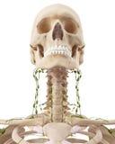Die zervikalen Lymphknoten Stockfotos