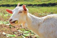 Die Ziege Lizenzfreie Stockfotografie