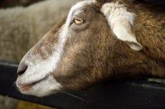 Die Ziege Stockfoto