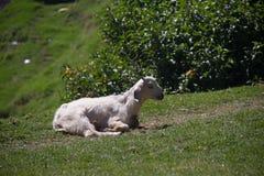 Die Ziege auf einer grünen Wiese Stockfotografie