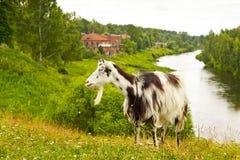 Die Ziege an der landwirtschaftlichen Landschaft Stockfotografie