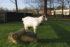 Die Ziege gesprungen oben auf einen hölzernen Klotz Lizenzfreies Stockfoto