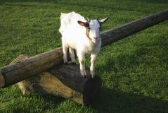 Die Ziege gesprungen oben auf einen hölzernen Klotz Stockfoto