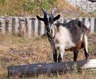 Die Ziege im Dorf Stockbild