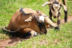 Die Ziege saß Lizenzfreies Stockfoto
