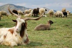 Die Ziege und die Schafe Lizenzfreies Stockbild