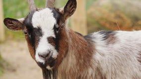Die Ziege vom Bauernhof stock video footage