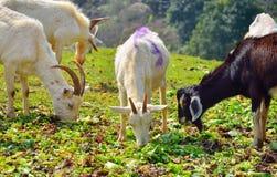 Die Ziegen stockbild