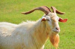 Die Ziegen Lizenzfreies Stockfoto