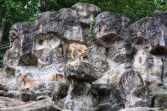 Die Ziegen auf dem Felsen stockbilder