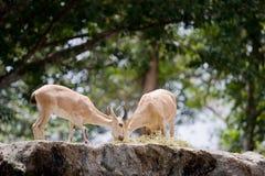 Die Ziegen sind das Weiden lassen, gerissen im Singapur-Zoo lizenzfreies stockbild