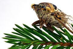 Die Zikadenfliege sitzt auf einer grünen Koniferenniederlassung Lizenzfreie Stockbilder
