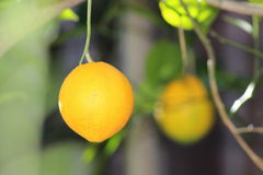 Die Zitrone Stockbild