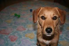 Die zufällige Hundeposition Lizenzfreies Stockbild