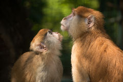 Die zwei Beziehungen des Affen Lizenzfreies Stockbild
