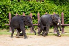 Die zwei Elefanten. Stockfotografie