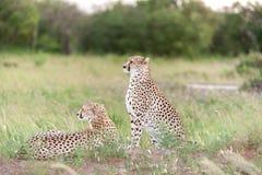 Die zwei Geparde Lizenzfreie Stockfotografie