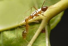 Die zwei kleinen Ameisen stockbild