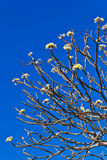 Die Zweige der Plumeriablume Lizenzfreie Stockfotos