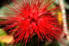 Die zwergartige rosa oder rote Puderquaste produziert eine auffallende rote Mimosenblume lizenzfreie stockfotos