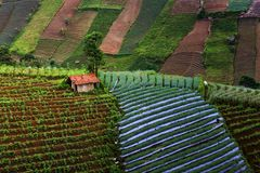 Die Zwiebelplantage, die im argapura ist Lizenzfreie Stockbilder