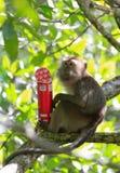 Diebstahl von Affen Lizenzfreies Stockfoto