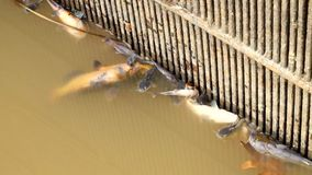 Died catfish, trouts and others in poisoned water of fish farm.  Death bodies swim to outlet bars. Dirty and mudy poisoned  water. stock footage
