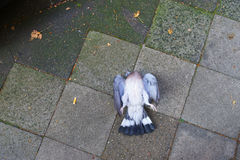 Died dove. On the sidewalk Royalty Free Stock Photo