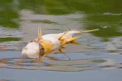 Died fish caused water pollution  Stock Photography