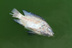 Died fish Royalty Free Stock Images