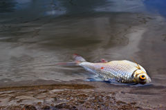 Died fish caused by water pollution Royalty Free Stock Photos