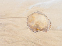 Died jellyfish Royalty Free Stock Photography