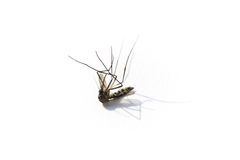 Died mosquito with dramatic shadow. On white background Royalty Free Stock Photography