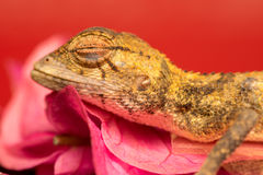Died Oriental garden lizard Stock Photo