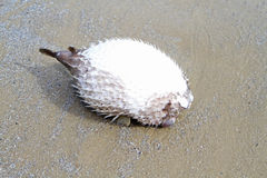 Died puffer fish Stock Photo