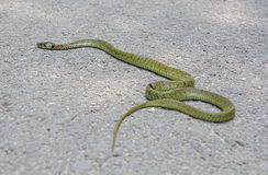 Died Snake on the Road Royalty Free Stock Photos