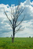 Died tree Stock Photography