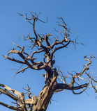 Died tree. Against blue sky Royalty Free Stock Image