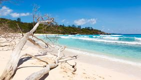 Died tree on sandy beach at Seychelles Stock Images