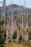 Died trees due to bark beetle infestation and Grosser Rachel hill in Bavarian Forest Royalty Free Stock Photo
