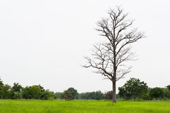 Died wooden in the fields. Royalty Free Stock Images