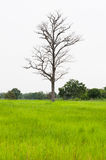 Died wooden in the fields. Royalty Free Stock Photography