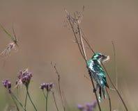 Diederick cuckoo in veldt Stock Photography