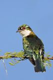 Diederik Cuckoo. Male; Chrysococcyx Caprius; South Africa Stock Images