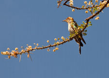 A Diederik Cuckoo with white flowers Stock Photography