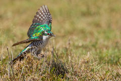 Diederik or Dideric Cuckoo, About To Fly. A Diederik Cuckoo, with its wings spread, about to fly.  Photographed in Olare Orok Conservancy, bordering the Masai Royalty Free Stock Image