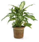 Diefembaquia de plante ornementale Photographie stock